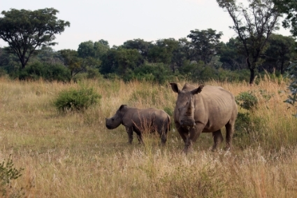 Rhinos in South Africa's Welgevonden Game Reserve.
