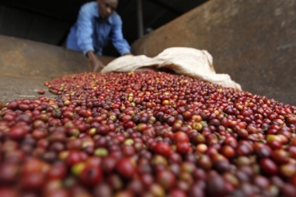 Coffee berries being sorted in a Kenyan processing plant.
