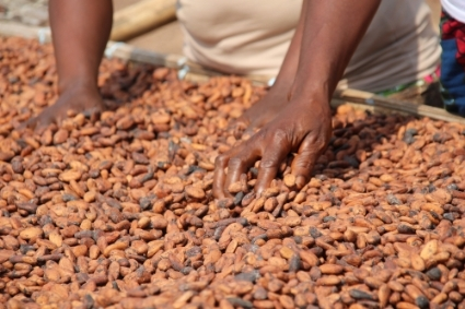 Cocoa beans drying in the sun in Ivory Coast.